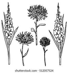 Vector autumn flowers set. Gladioluses and asters ink drawn silhouettes