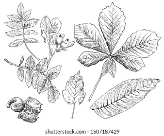 Vector autumn hand drawing horse chestnut, hawthorn, rose hip, Rowan leaves outline on the white background. Fall line art of foliage. stock illustration