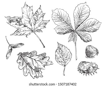 Vector autumn hand drawing oak, birch, horse chestnut, maple leaves outline on the white background. Fall line art of foliage. stock illustration