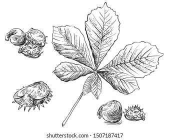 Vector autumn hand drawing set of horse chestnut leaves and seeds outline on the white background. Fall line art of foliage. stock illustration