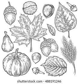 Vector autumn hand drawn set of leaf, nut, pumpkin, wheat, cloves, hazelnut, walnut, acorn. Vector engraved objects. Detailed botanical illustrations. Oak, maple, chestnut leaf sketch.