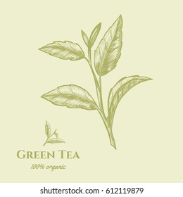 Vector background with green tea plant, leaf . Hand drawn. Vintage style