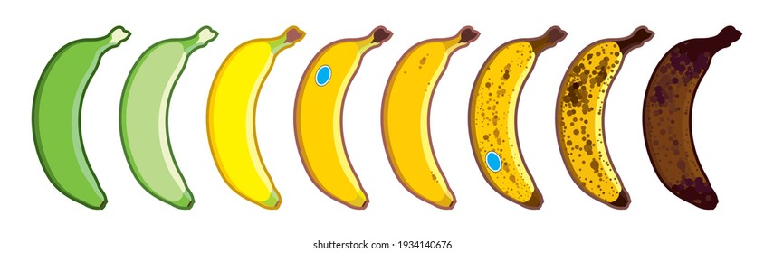 Vector banana set of different colors. Ripe stages of bananas from unripe to overripe. Fruit for every taste. Isolated on a white background.