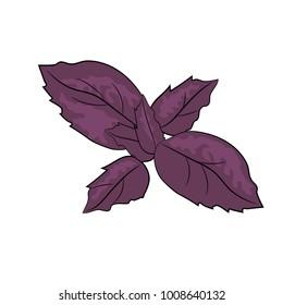 Vector Basil illustration. Violet leaves.