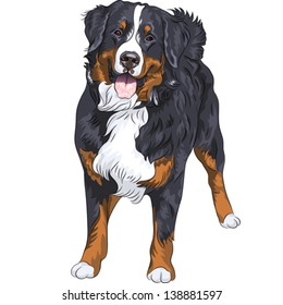 Vector big cute dog breed Bernese mountain dog standing and smiling, isolated on the white background
