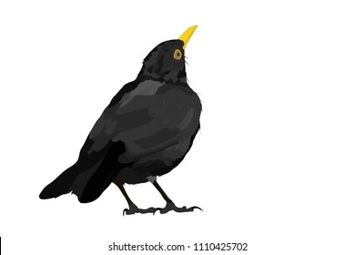 Vector bird. Common Blackbird. Vector image.