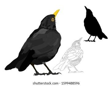 Vector bird. Common Blackbird. Vector image. White background.