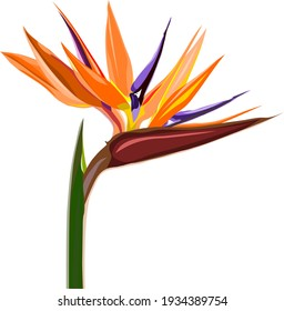 Vector of bird of paradise flower