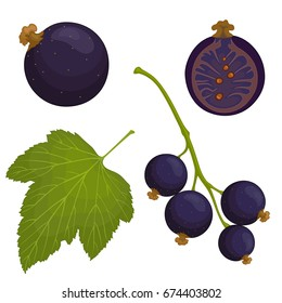 Vector black currant. A bunch of black currant, whole and half berries, leaf.