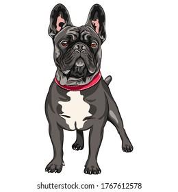 Vektor schwarzer Hund Französischer Bulldog Rasse Stehen, die häufigste Färbung