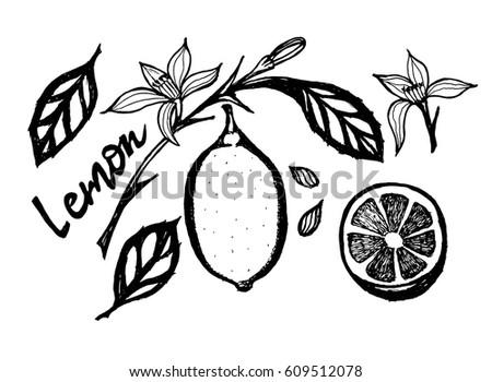 Vector black white drawing lemon lemon stock vector royalty free vector black and white drawing lemon lemon twig flower and half a lemon mightylinksfo