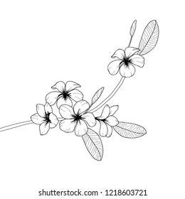 Vector black and white floral illustration plumeria flower on a white background