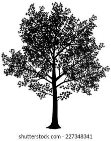 Vector black and white maple silhouette. Vector illustration. Eps8
