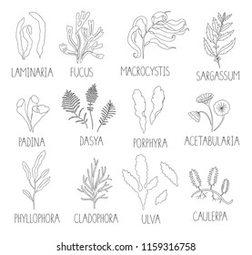 Vector black and white set of seaweeds isolated on white background. Monochrome collection of laminaria, focus, macrocystis,sargassum, padina, dasya, porphyra, phyllophora, cladophora, ulva