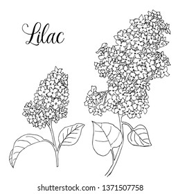 Vector black and white syringa (lilac) on a white background