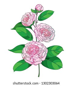 Vector blossom bunch with outline Camellia flower in pastel pink, bud and green foliage isolated on white background. Ornate evergreen plant Camellia in contour style for summer design.