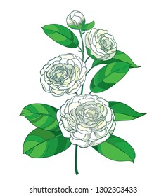Vector blossom bunch with outline Camellia flower in pastel white, bud and green leaf isolated on white background. Ornate evergreen plant Camellia in contour style for summer design.