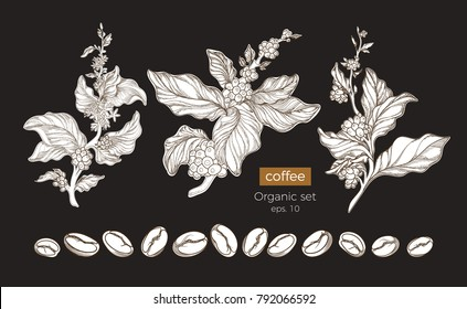Vector botanic nature set of coffee tree branches with flower, leaves and beans. Floral drawing, sketch Shape art design Realistic graphic illustration Organic food  Big collection on black background