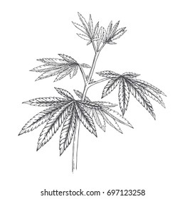 Vector botanical hand drawn illustration of hemp branch. Engraved cannabis foliage. Sketch style