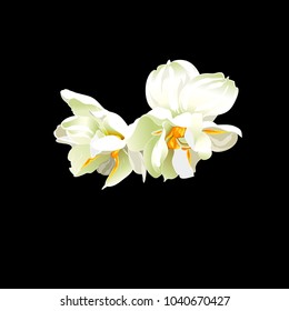 Vector Botanical Illustration of Narcissus Blossom on Black Background. Realistic Style Painting. Beautiful Garden Plants. Freehand Drawing. Exotic Gorgeous White Flowers. Floral Art.