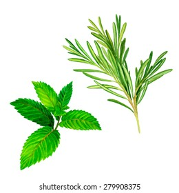vector botanical illustration of rosemary and peppermint herbs. watercolor drawing isolated on white, culinary elements.