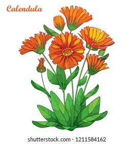 Vector bouquet with outline Calendula officinalis or pot marigold, bud, ornate green leaf and orange flower isolated on white background. Contour medicinal plant Calendula for summer herbal design.