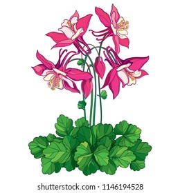 Vector bouquet with outline ornate Aquilegia or Columbine flower in pink, bud and green leaf isolated on white background. Perennial flower Aquilegia in contour style for summer design.