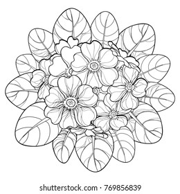 Vector bouquet with outline Primula or Primrose flower and leaves in black isolated on white background. Round composition with bloom Primula in contour style for spring design and coloring book.