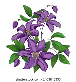 Vector bouquet with outline purple Clematis or Traveller's joy ornate flower bunch, bud and green leaves isolated on white background. Contour climbing liana Clematis for summer design.