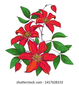 Vector bouquet with outline red Clematis or Traveller's joy ornate flower bunch, bud and green leaves isolated on white background. Contour climbing liana Clematis for summer design.