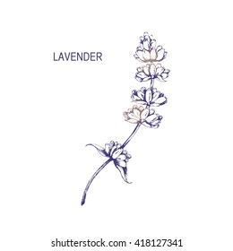 Vector branch of Lavender flower. Hand drawn vintage herbal sketch.