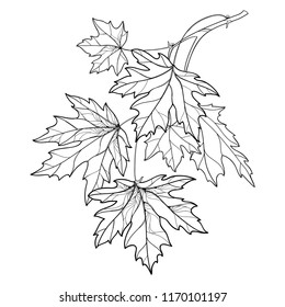 Vector branch with outline Acer or Maple ornate leaves in black isolated on white background. Composition with foliage of Maple tree in contour style for autumn design or coloring book.