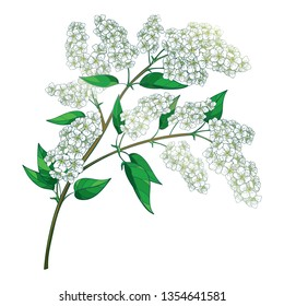 Vector branch with outline blossom Prunus padus or Bird cherry pastel white flower bunch with bud and green leaf isolated on white background. Contour blooming birdcherry twig for spring design.