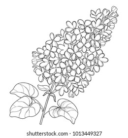 Vector branch with outline Lilac or Syringa flower bunch and ornate leaves in black isolated on white background. Blossoming garden plant Lilac in contour style for spring design and coloring book.