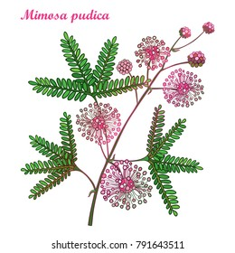 Vector branch of outline Mimosa pudica or sensitive plant or touch-me-not plant. Pink flower, bud and green leaf isolated on white background. Mimosa bunch in contour for spring design.