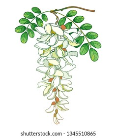 Vector branch of outline pastel white false Acacia or black Locust or Robinia flower, bud and green leaves isolated on white background. Blooming contour Acacia bunch for spring design.