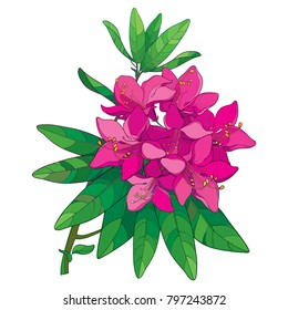 Vector branch with outline pink Rhododendron or Alpine rose flower isolated on white background. Bunch with evergreen mountain flowers and leaves in contour style for summer design.