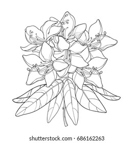 Vector branch with outline Rhododendron or Alpine rose flower isolated on white background. Bunch with mountain flowers and leaves in contour style for summer or herbal design and coloring book.