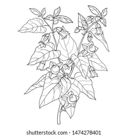 Vector branch of outline toxic Atropa belladonna or deadly nightshade flower bunch, bud, berry and leaf in black isolated on white background. Poisonous contour Belladonna plant for coloring book.