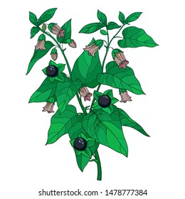 Vector branch of outline toxic Atropa belladonna or deadly nightshade flower bunch, bud, black berry and green leaf isolated on white background. Poisonous contour Belladonna plant for herbs design.