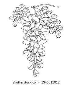 Vector branch of outline white false Acacia or black Locust or Robinia flower, bud and leaves in black isolated on white background. Blooming contour Acacia bunch for spring design or coloring book.