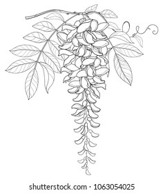 Vector branch of outline Wisteria or Wistaria flower bunch, bud and leaf in black isolated on white background. Blooming climbing plant Wisteria in contour style for spring design or coloring book.