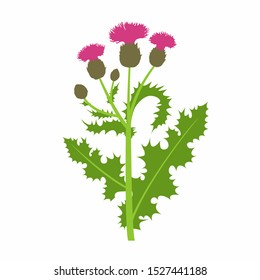 Vector branch with Thistle or Carduus plant, green spiny leaf, bud and pink flower isolated on white background. Symbol of Scotland. Vector Thistle for botanical summer design.