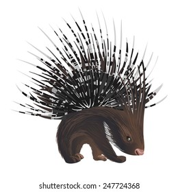 vector bristling porcupine on white background