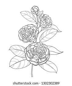 Vector bunch with outline Camellia flower, bud and leaf in black isolated on white background. Ornate evergreen plant Camellia in contour style for summer design or coloring book.