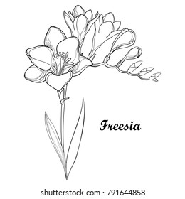Vector bunch with outline Freesia flower, bud and ornate leaf in black isolated on white background. Perennial fragrant plant Freesia in contour style for summer design and coloring book.