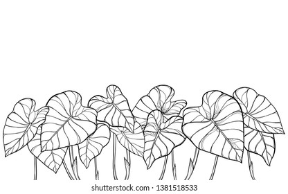 Vector bunch of outline tropical leaf Colocasia esculenta or Elephant ear or Taro plant in black isolated on white background. Ornate contour Colocasia foliage for summer coloring book.