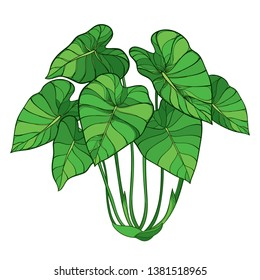 Vector bush of outline tropical plant Colocasia esculenta or Elephant ear or Taro leaf bunch in green isolated on white background. Ornate contour Colocasia foliage for summer greenery decor.