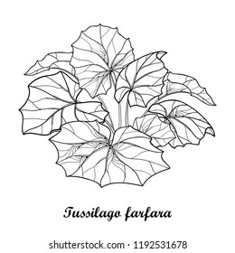 Vector bush with outline Tussilago farfara or coltsfoot or foalfoot with ornate leaves in black isolated on white background. Contour medicinal plant coltsfoot for herbal design or coloring book.