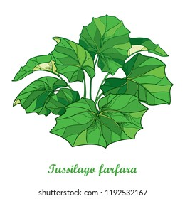 Vector bush with outline Tussilago farfara or coltsfoot or foalfoot with ornate green leaves isolated on white background. Foliage of medicinal plant coltsfoot in contour style for herbal design.